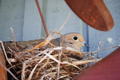 mamma 2 (Miss a Liss) Tags: dove mammabird nesting bird nest nikon nikond300 dslr creative commons