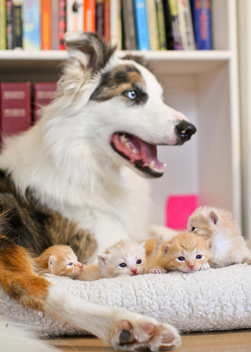 cute contact point border collies looking after kittens