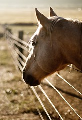 pain in the neck (Andy Kennelly) Tags: california bear ranch horse fence neck pain wire profile springs valley friday barb