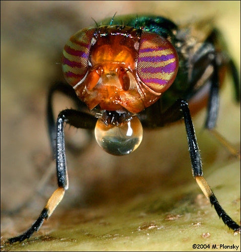 Pictures Of Fruit Flies. Fruit Fly Bubble Blower