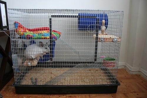 Шиншиллы в домашних условиях с фото