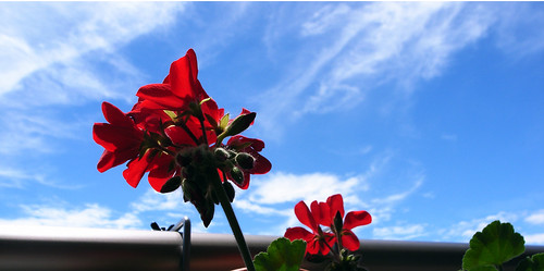 blue sky, red flower