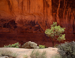 Desert varnish on a cliff face. Also, a tree, with no desert varnish on the tree. Photo courtesy Brent Pearson.