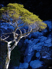 Mountain Beech (katepedley) Tags: new winter newzealand snow cold tree ice contrast creek frozen waterfall nationalpark tripod arthurspass panasonic zealand filter nz southisland endemic southernalps beech fz30 tranzalpine cokin naturesfinest nothofagus fagaceae avalanchecreek gndfilter nznative avalanchepeak canterburynz colorphotoaward aplusphoto colourphotoaward maindivide mountainbeech solandri cliffortioides nz101arthurspassnationalpark