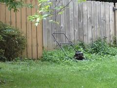 Mower_in_Tall_Grass (radellaf) Tags: grass lawn mower