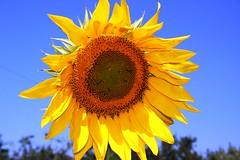 Sunny Day (faronspix) Tags: blue arizona sky flower nature yellow fleurs canon sedona sunny sunflower