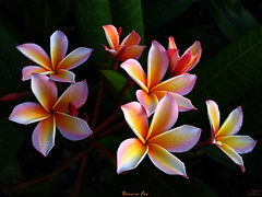 The Plumeria Bonnie Fox (mad plumerian) Tags: pink flowers plants usa yellow landscape jack thailand purple florida plumeria outdoor fox bonnie lopaka tropicalflowers hybrids rareplant rareplants flowersinbloom plumeriasforsale rareplantsflowers hybridflowers