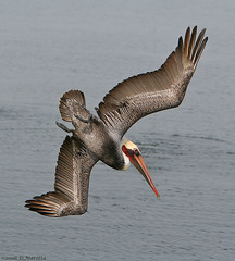 California Brown Pelican; Pelecanus occidentalis californicus IMG_4639 (MissionPhotography) Tags: california fruits orangecounty brownpelican blend bolsachica acai californicus pelecanusoccidentalis monavie supershot featheryfriday abigfave impressedbeauty diamondclassphotographer flickrdiamond flickrelite naturewatcher