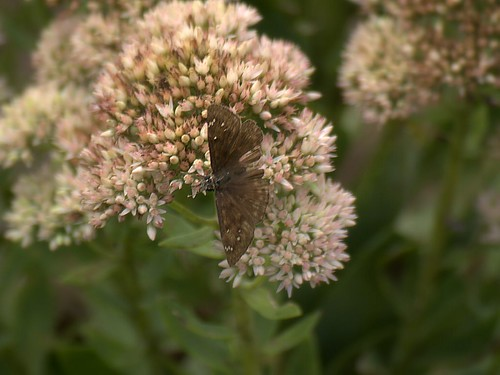 Brown butterfly on flowers