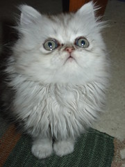 """""""What is it ?"""" (catherine.caf) Tags: cat persian kitten chat chaton naturesfinest persan kissablekat"""