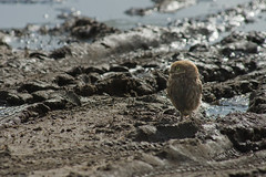 Adelr_20070707_320-Edit (reneadelerhof) Tags: owl littleowl atheneathene