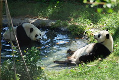 Enjoying the swim together~! (foocheung) Tags: panda nationalzoo pandas tiantian meixiang taishan