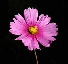Flower on Black (Glenn Harris (Clintriter)) Tags: pink black flower yellow oregon background center cosmos breathtaking hoodriver excellence onblack naturesfinest blueribbonwinner supershot lifebeautiful