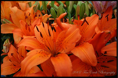 Orange ~ The Color of Autumn (redhatgal ~ Barbara Butler/FireCreek Photography) Tags: ca orange lily bakersfield naturesfinest halloweeniscoming redhatgal kerncountyphotogaphers