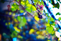 harvest (moaan) Tags: life above leica up digital 50mm restaurant dof bokeh vine f10 trellis crop m8 bunch noctilux grape grapevine ripening 2007 frenchrestaurant explored inlife leicam8 leicanoctilux50mmf10 bokehwhores abunchofgrapes grapevinetrellis goldenvisions gettyimagesjapanq1 gettyimagesjapanq2
