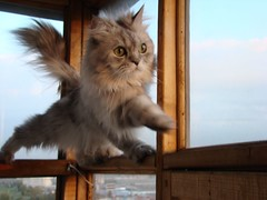 One more step (akk_rus) Tags: pet cats pets cat persian chats feline chat sony fabulous marcello dsc h9    ourplanet dsch9
