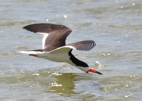 Black Skimmer two