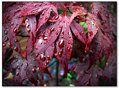 Rain on the leaves of my Acer tree (Lazlo Woodbine) Tags: flowers macro tree leaves rain closeup garden ilovenature acer raindrops gardenplants naturesfinest 1on1naturephotooftheday superbmasterpeice 1on1naturephotoofthedayjune2007