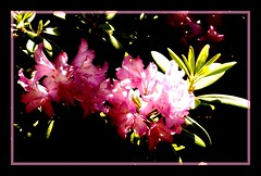 15.000 thanks for visiting (Kirsten M Lentoft) Tags: pink light flower rhododendron momse2600 isawyoufirst kirstenmlentoft