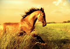 golden frolic through the undergrowth (Dan65) Tags: horse orange yellow gold golden jump bravo frolic 5 explore hop canter gallop undergrowth akhalteke firstquality flickrsbest abigfave thelittledoglaughed gazan colorphotoaward frhwofavs thegardenofzen hawaalrayyanfav vision100