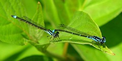 Skimming Bluets (kd_arvin) Tags: park county france insect kevin damselfly cass arvin ias skimming bluet enallagma geminatum