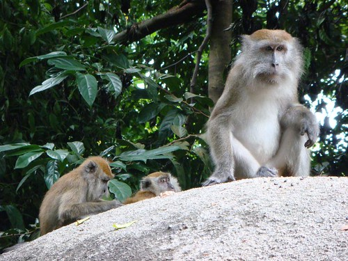 Monkeys near Monkey Beach. Tioman Island. Malaysia.