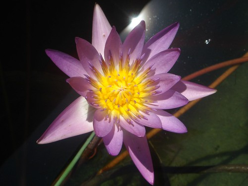 a purple water lily