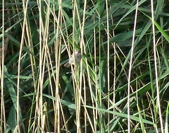 Reed Warbler on Lavender Pond