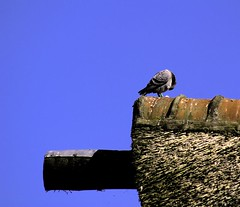 Roof top (de Raaf) Tags: roof bird animal de top raaf dak duif