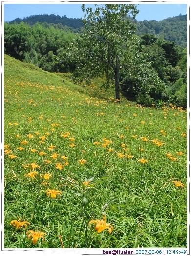 花蓮賞美麗的金針花在赤科山 (1)