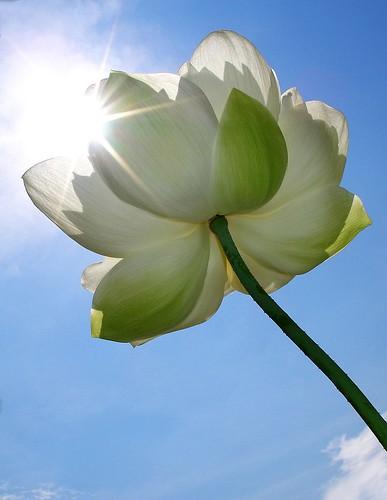 Sunshine and a Lotus