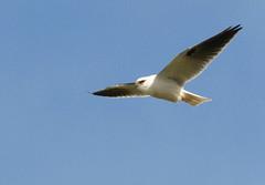 Australian Kite (maureen_g) Tags: bird nature beauty wildlife flight australia nsw centralcoast e510 soldiersbeach zd50200mm australiankite
