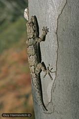 Tree Gecko (Cyrtodactylus kotschyi) שממית עצים