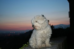 Oh No! Not  another Sunset! (! .  Angela Lobefaro . !) Tags: sunset italy dog chien pet cute beautiful animals cane architecture puppy puddle countryside puppies pretty italia tramonto sweet quality gorgeous country  gimp surgery m perro campagna piemonte cao hund cachorro nubes linux bichon cachorros lovely angela chateau operation biella ubuntu piedmont filhote animali perrito chine burg italians bolognese hachiko caes cae cagnolino  kubuntu valdengo digikam fris bichonfris supershot cesvi xti hokhiko castellodivaldengo angiereal travelerphotos rosemeasinterview rosemeamacphersonsinterview maxgreco charraco angelalobefaro angelamlobefaro lobefaro wwwcesviorg massimilianogreco