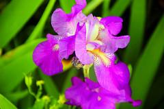Purple Petals (russellk) Tags: iris sun moon flower color green vancouver haze afternoon purple bright hendrix strathcona hdr photomatix tonemap colourartaward