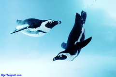 Penguins at the Mystic Aquarium (Jeff Wignall) Tags: blue cute water swimming southafrica aquarium penguins flying underwater connecticut nikond70s mystic wignall underwaterphotography mysticaquarium southafricanpenguins nikkorlenses