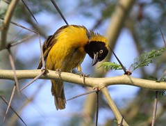 The Look.. (Janaka @ Wild Botswana (will be back soon )) Tags: africa wild nature birds animals closeup canon photography wildlife afrika gaborone botswana 100400mm weaverbird janaka edirisinghe animalkingdomelite canon50d