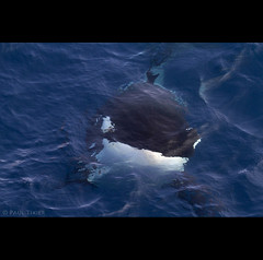 frontier (Paul Tixier) Tags: offshore indianocean orca rough killerwhale crozet