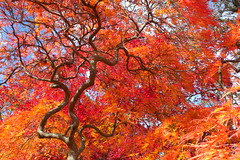 Riverside Cemetery Norwalk CT Fall 2010 (caboose_rodeo) Tags: favorite japanesemaple 2776 norwalkctfallfoliage