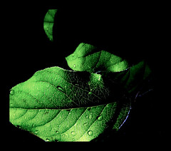 G R E E N (Maureen F.) Tags: green leaves bravo searchthebest veins arteries naturesfinest magicdonkey explore14 anawesomeshot aplusphoto diamondclassphotographer latecommentkiss brillianteyejewel