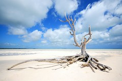 the lone tree at harbour Island/eleuthera - by photos_mweber