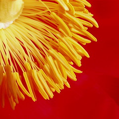 When the immense drugged universe explodes........ (cattycamehome) Tags: life flowers red summer orange flower macro beautiful yellow tag3 taggedout happy petals bravo tag2 chaos colours tag1 bright blossom quote centre peony stamen cascade ecstacy excellence catherineingram robertgraves supershot magicdonkey flowerotica outstandingshots july2007 abigfave cattycamehome allrightsreserved© bratanesque ecstacyofchaos soulsresonance