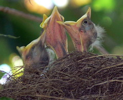 FBI: mouths wide opened !!!!!!!!!!!!!   Baby Robins (Turdus Migratorius) (Frozen in Time photos by Marianne AWAY OFF/ON) Tags: nature birds ilovenature wildlife robins fbi bestofflickr ilovephotography nests turdusmigratorius babybirds naturesfinest flickraddicts backyardbirds birdlovers favorites5 featheryfriday birdsbirdsbirds naturearoundyourhouse birdfanatics awesomenature beautyofnature flickrnature birdpix nationalgeographicwannabes qemdfinch newjerseybirds pdpnw holidaysvacanzeurlaub avianexcellence excellenceinavian aclass excellenceinavianphotography elpasojoesplace jerseybirders worldpicture favoritesbyinterestingness birdfanaticsnolimits naturesbabies naturesexquisite naturesaroundyourhouse nationalgeographiswannabes