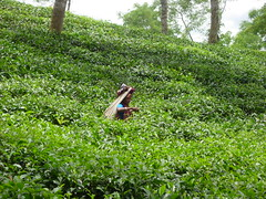 Tea Plucker No.3 (Nubsy) Tags: tea bangladesh plantations srimongal