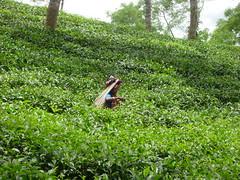 Tea Plucker No.3 (Nubsy) Tags: tea bangladesh plantations srimongal