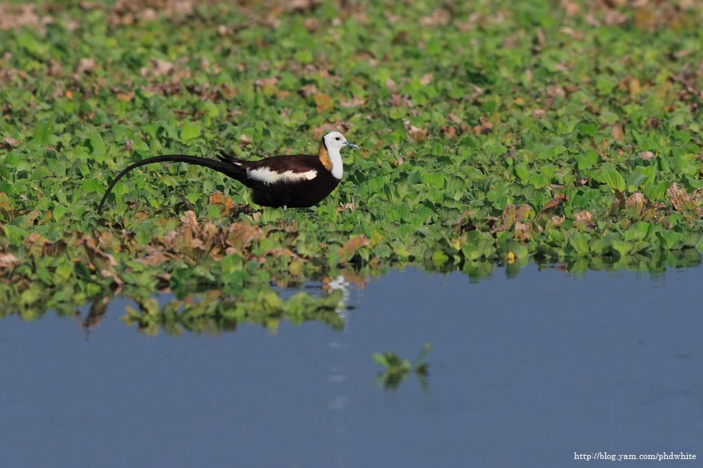 Pheasant-tailed Jacana 水雉-1