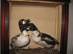 eek! (babybel.love) Tags: dead ducks taxidermy 250707 goraga