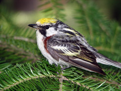Chestnut-sided Warbler - by Яick Harris