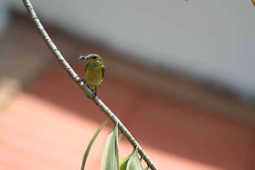 Sunbird waiting02 (female)