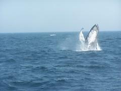 Breaching (stephyannette) Tags: ocean boat massachusetts atlantic whale whales mass atlanticocean whalewatching stellwagenbank simplymaldives 7seaswhalewatch